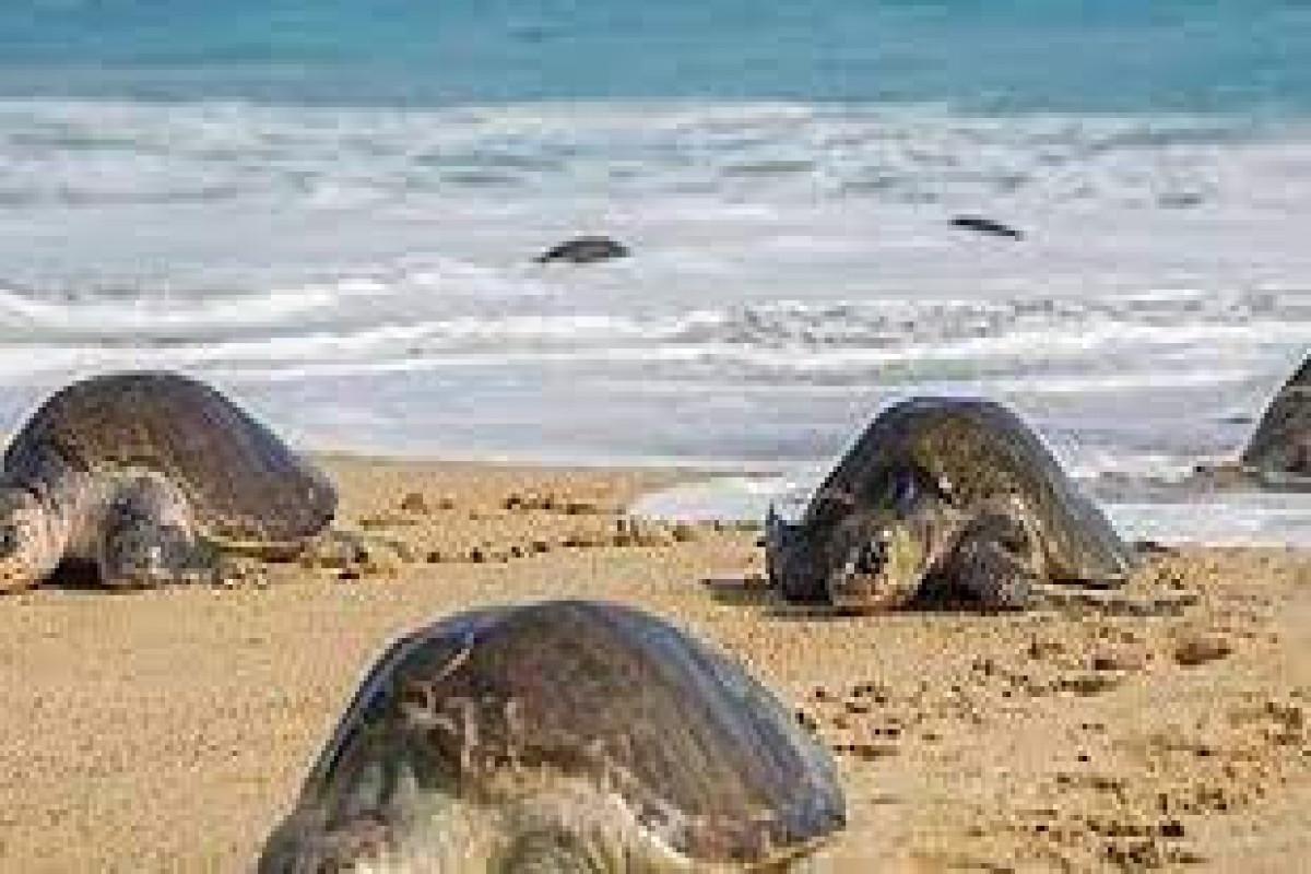 Сотни мертвых морских черепах нашли на пляже в Мексике