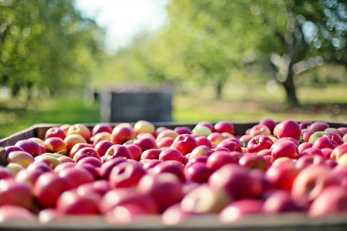 Еще 11 азербайджанским предприятиям разрешили экспортировать яблоки в Россию